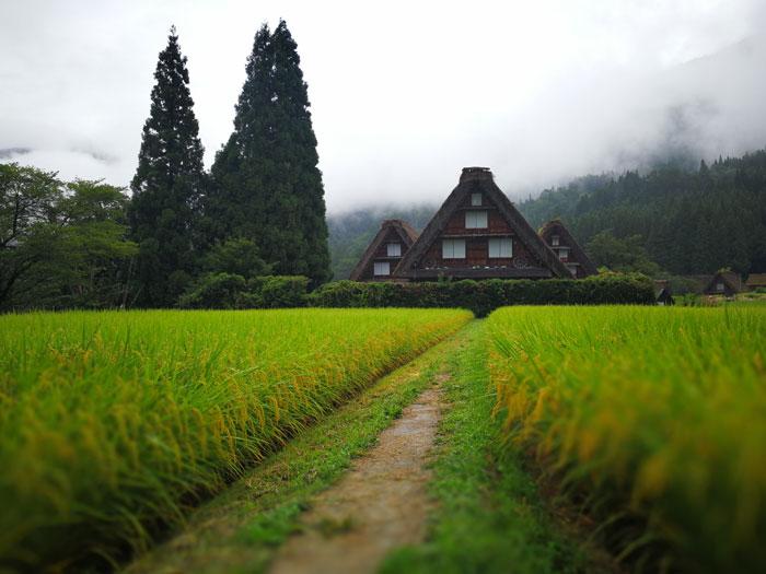合掌造りの家と田んぼ