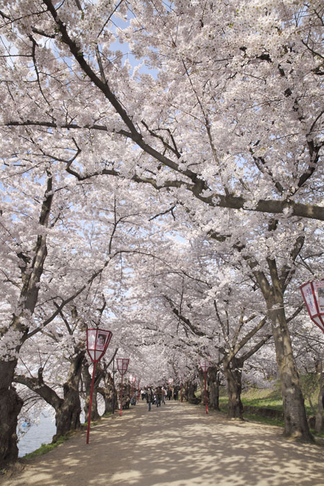 弘前城 さくら