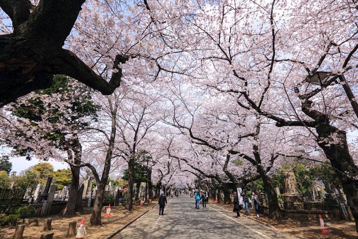 谷中霊園のさくら(写真提供:TCVB)