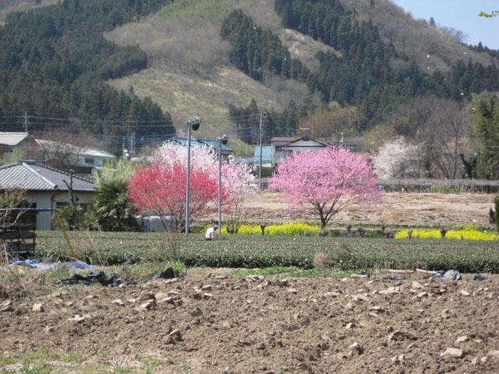 長瀞の桜(北桜通り沿いの景色)