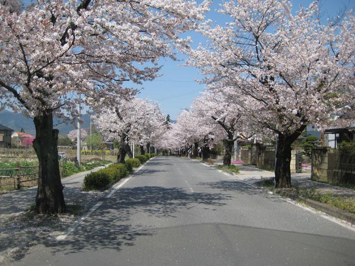 長瀞の桜(北桜通り)