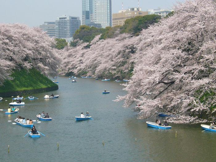 皇居 千鳥ヶ淵の桜