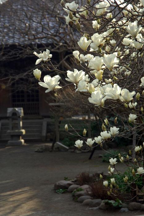 宝戒寺のコブシ(写真提供:鎌倉市観光協会)