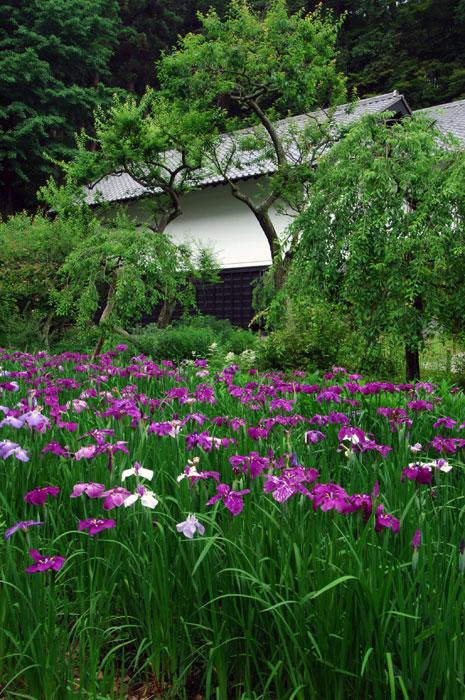 東慶寺の花ショウブ(写真提供:鎌倉市観光協会)