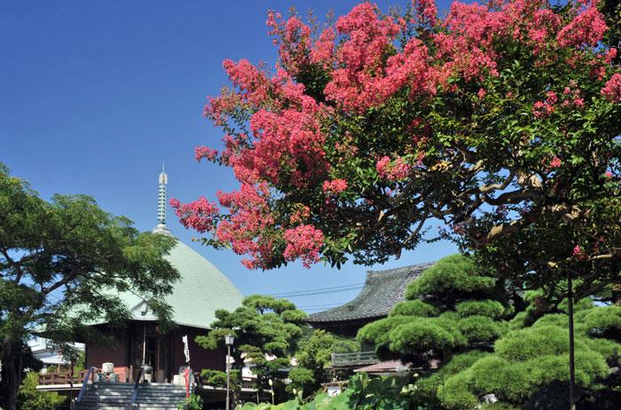 本覚寺のサルスベリ(百日紅)(写真提供:鎌倉市観光協会)