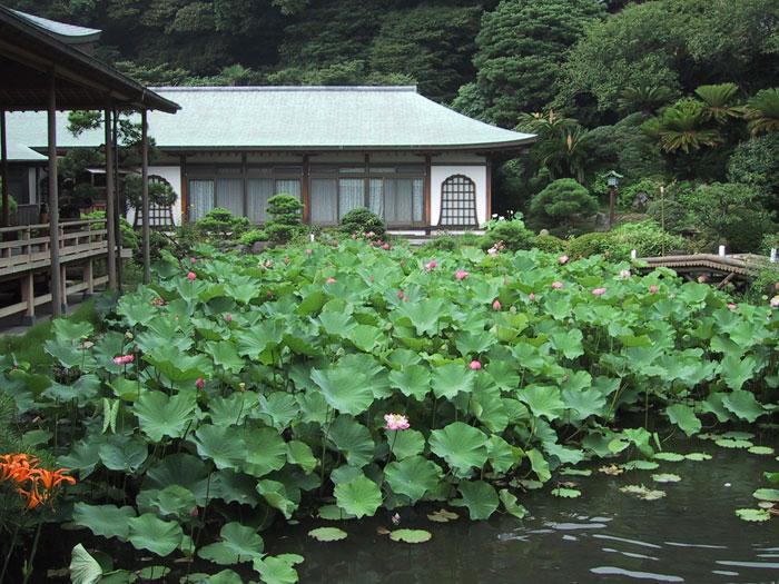 光明寺の蓮(写真提供:鎌倉市観光協会)