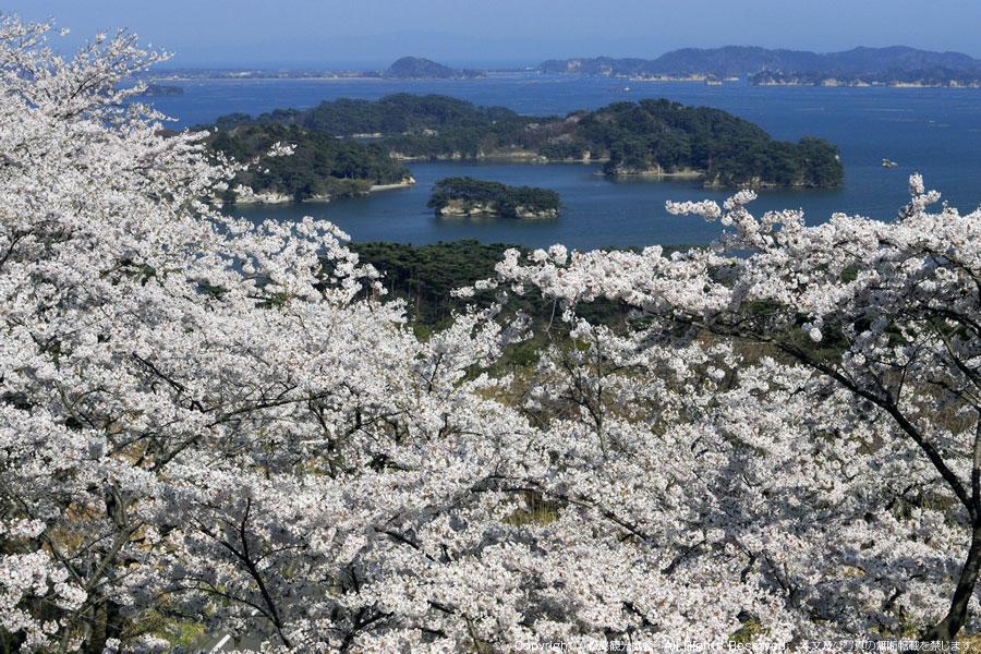 西行戻しの松公園 春(画像提供:松島観光協会)