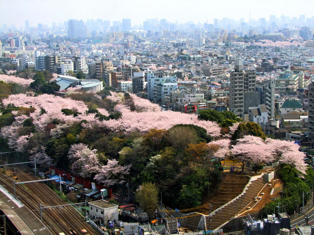 飛鳥山公園の桜 俯瞰