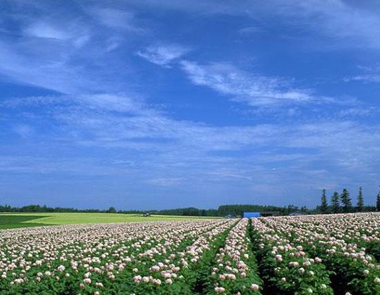 ジャガイモ畑 富良野市 (写真提供:上川総合振興局)