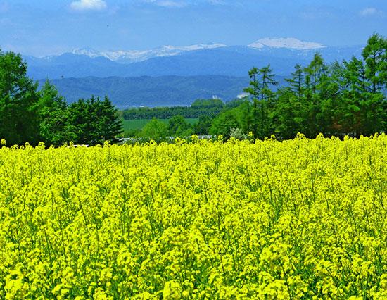 残雪と菜の花畑 滝川市 (写真提供:空知総合振興局)
