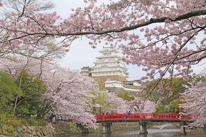 姫路城と桜(写真提供:姫路市)