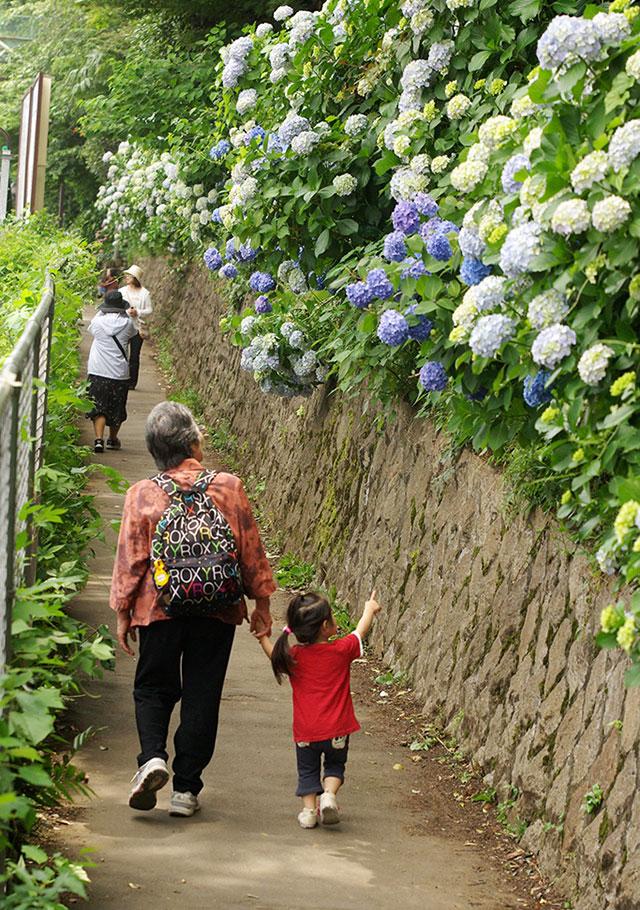 飛鳥山公園のアジサイ(写真提供:東京北区)