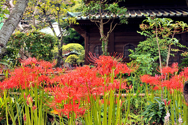 英勝寺のヒガンバナ(写真提供:鎌倉観光協会)